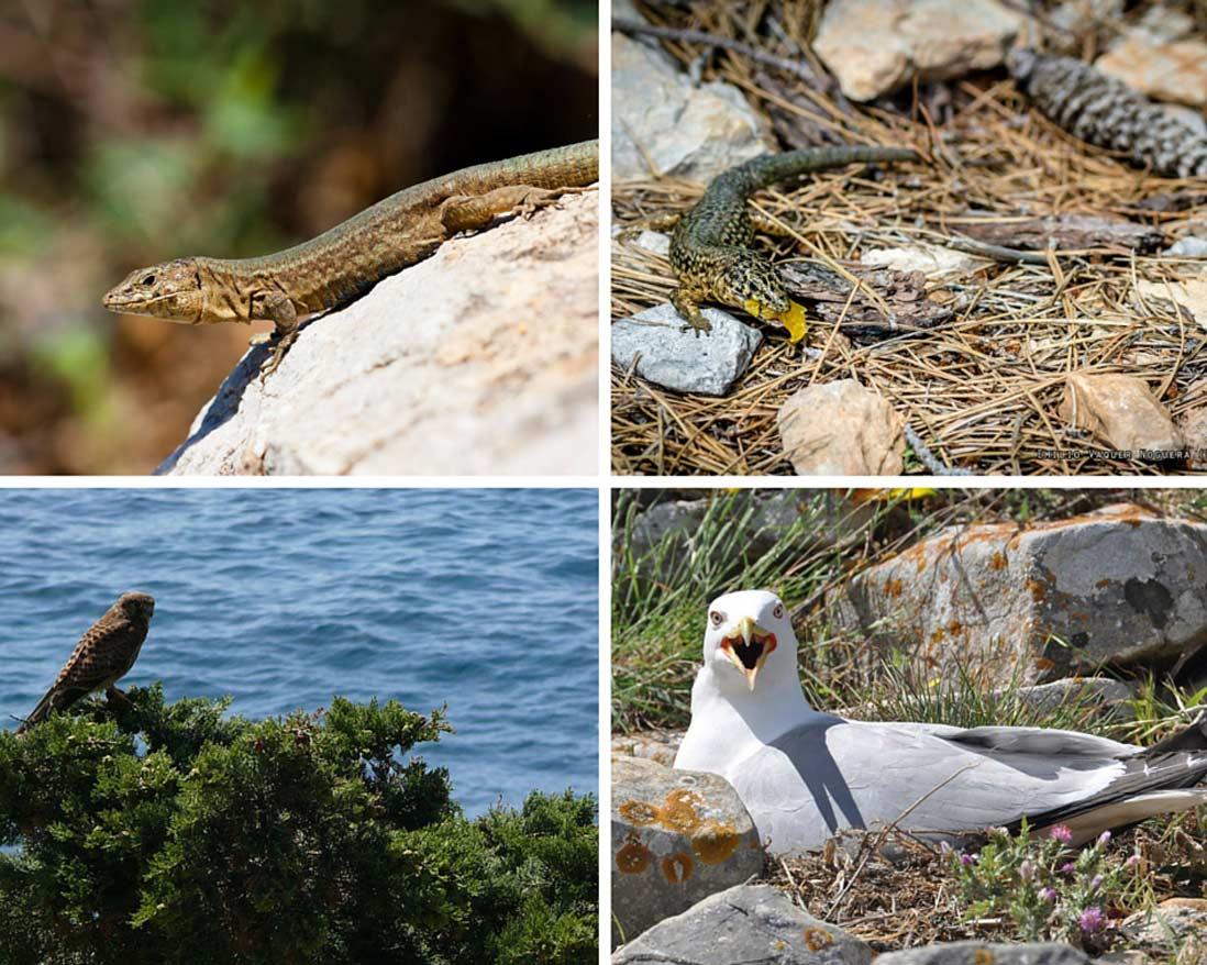 largartos, aguilas y gaviotas forman la fauna del parque sa dragonera en Mallorca
