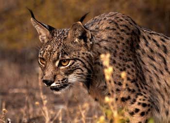 Beautifull Lince in Doñana Natural Park