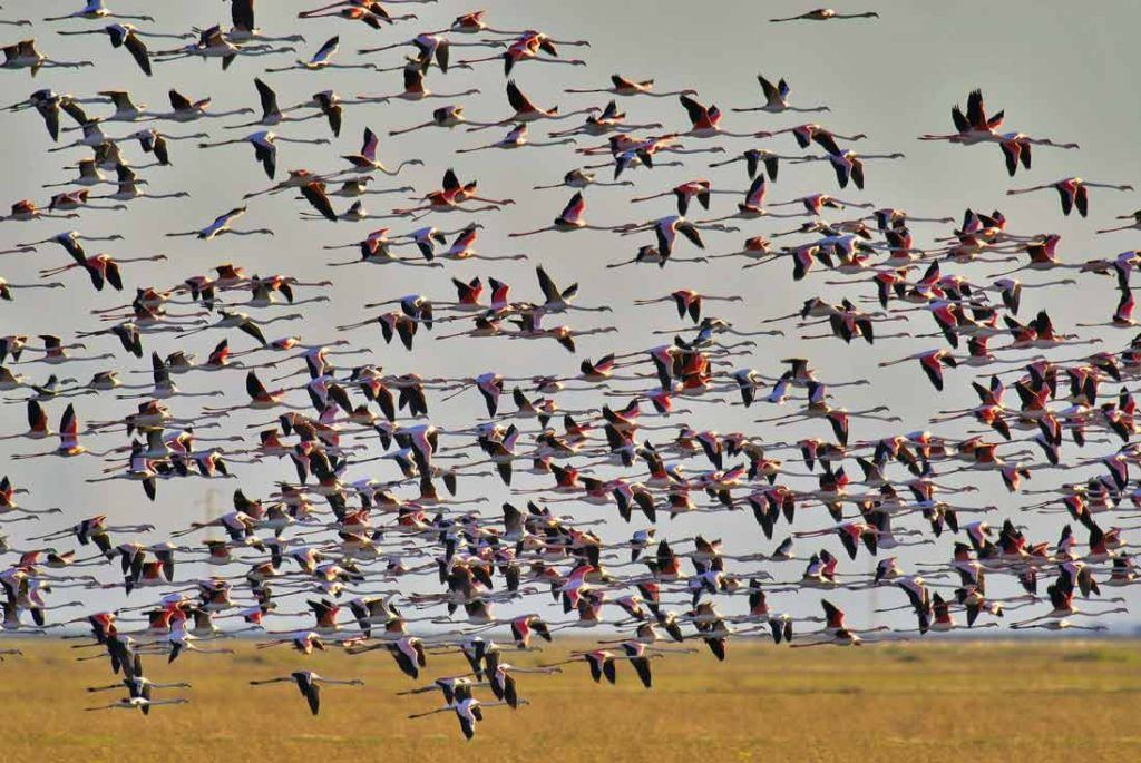 Thousends of migratory birds in Doñana National Park