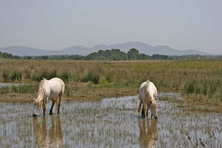 Wild horses in wet area of S'Albufera Natural Park
