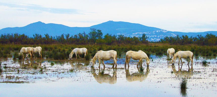 Wild-horses-in-Aiguamolls-de-l'emporda-Natural-Park-(5)
