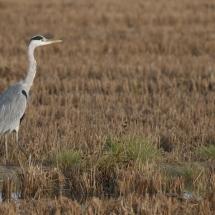 aves-del-delta-del-ebro